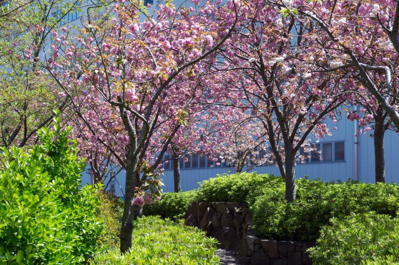 セシール 志度ロジスティクスセンターの桜 ②_d0246136_18274846.jpg