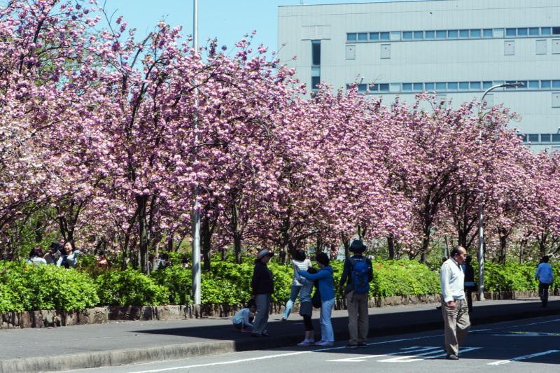 セシール 志度ロジスティクスセンターの桜 ②_d0246136_18281111.jpg