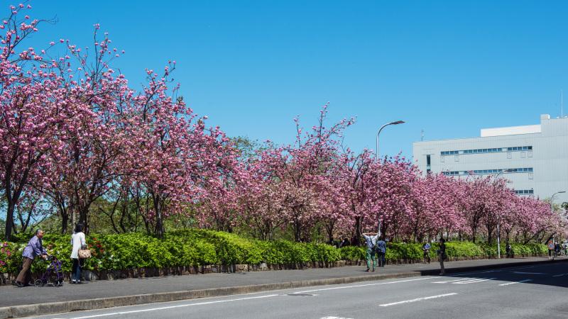 セシール 志度ロジスティクスセンターの桜 ②_d0246136_18301070.jpg