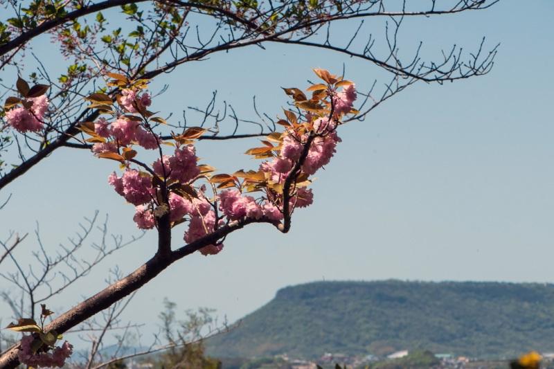 セシール 志度ロジスティクスセンターの桜 ②_d0246136_18310463.jpg