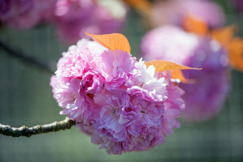 セシール 志度ロジスティクスセンターの桜 ②_d0246136_18322162.jpg