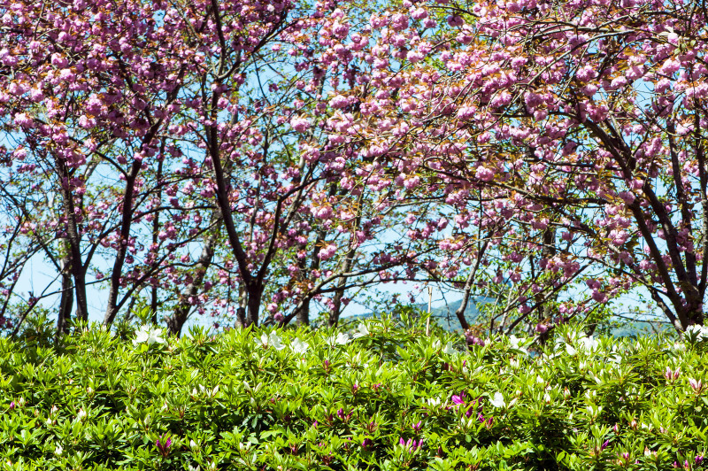 セシール 志度ロジスティクスセンターの桜 ②_d0246136_18342419.jpg