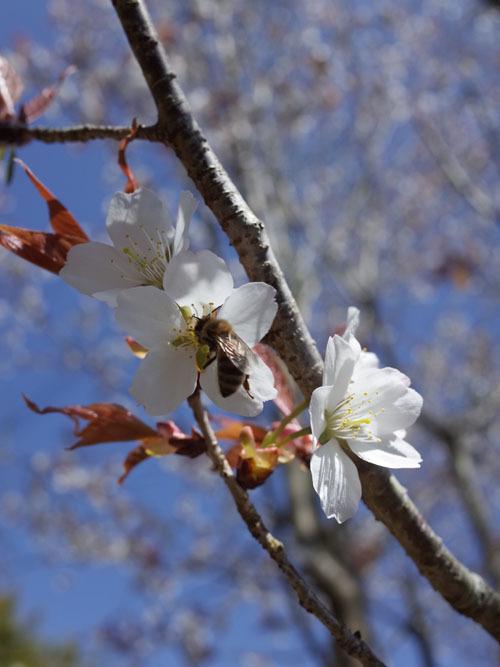 採蜜はじまりました!美味しい桜蜜から~_b0237338_00364149.jpg
