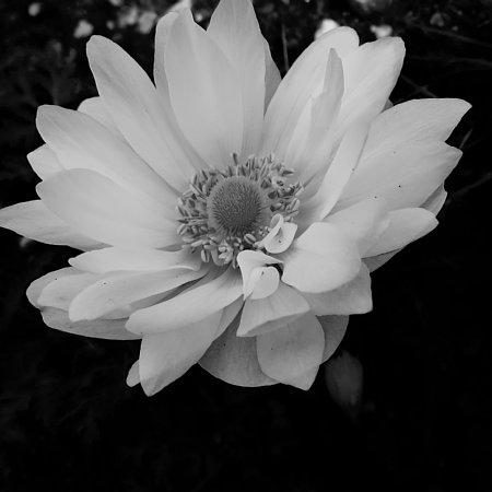 2016年4月25日 アネモネの花が咲きました!_b0341140_8325325.jpg