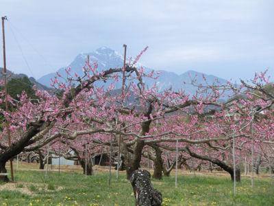 新府の桃はまだまだきれい_f0019247_22463396.jpg