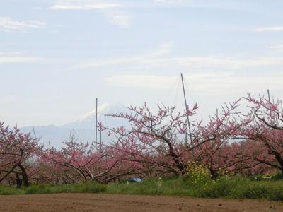 新府の桃はまだまだきれい_f0019247_22504339.jpg