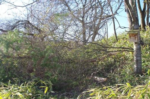 強風で折れた庭の松_c0110869_12165333.jpg
