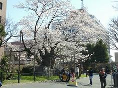 2016、春、満開の桜..._f0055803_15151454.jpg