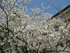 2016、春、満開の桜..._f0055803_15152226.jpg