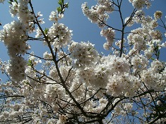 2016、春、満開の桜..._f0055803_15152973.jpg