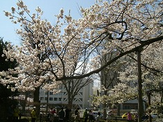 2016、春、満開の桜..._f0055803_15153654.jpg