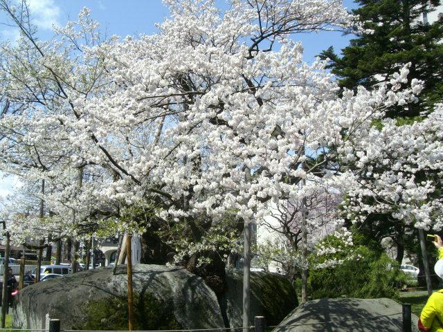 2016、春、満開の桜..._f0055803_1515506.jpg