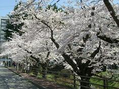 2016、春、満開の桜..._f0055803_15161919.jpg