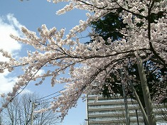 2016、春、満開の桜..._f0055803_15163357.jpg