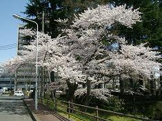 2016、春、満開の桜..._f0055803_15164198.jpg