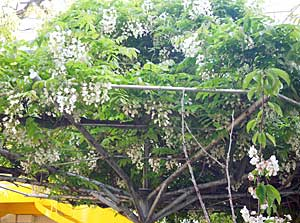 藤の花ぶさがふじ棚から…_e0325335_1112998.jpg