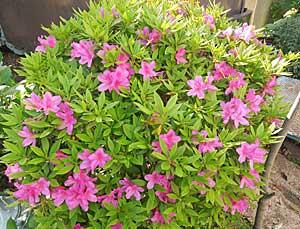 藤の花ぶさがふじ棚から…_e0325335_1114468.jpg