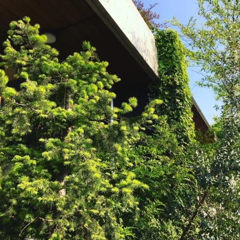緑がずっと濃くなって来ました。_a0017350_23362286.jpeg