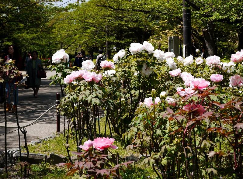 和歌山城のボタン園_b0093754_20205891.jpg