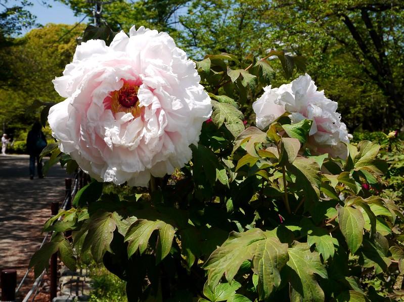 和歌山城のボタン園_b0093754_20214397.jpg