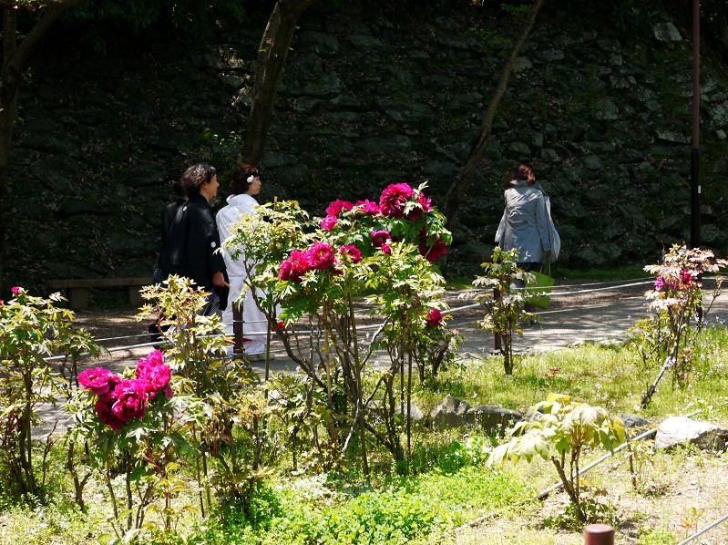 和歌山城のボタン園_b0093754_2022826.jpg