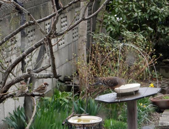 庭のお客様、チョウゲンボウ、ジョウビタキ、キジバトなど♪_a0136293_162428.jpg