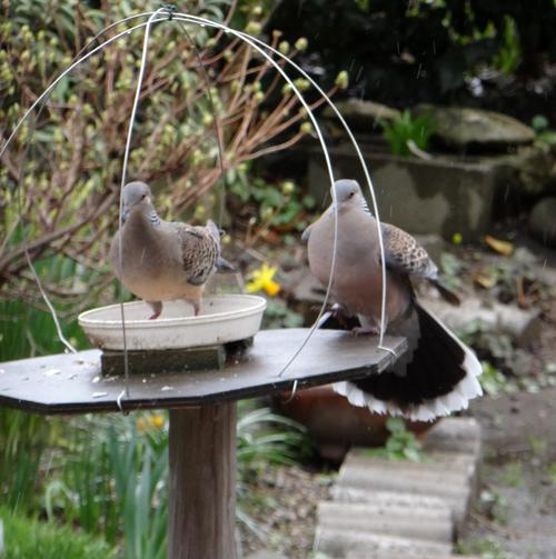 庭のお客様、チョウゲンボウ、ジョウビタキ、キジバトなど♪_a0136293_164384.jpg