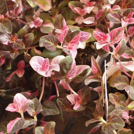 寄せ植え用の葉物たち_a0292194_1955111.jpg