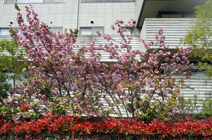 八重桜_e0016894_1381713.jpg