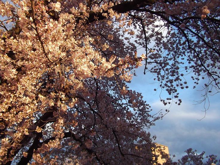 桜_f0326895_22181135.jpg
