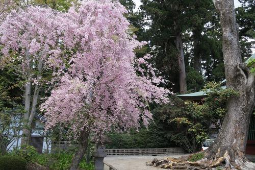 桜三昧_f0138096_22375050.jpg