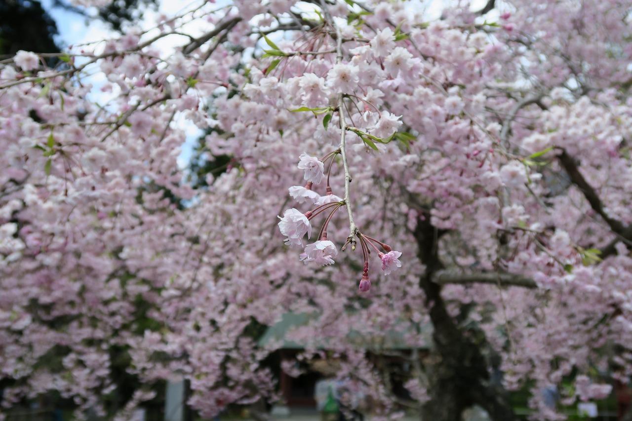 桜三昧_f0138096_22382073.jpg