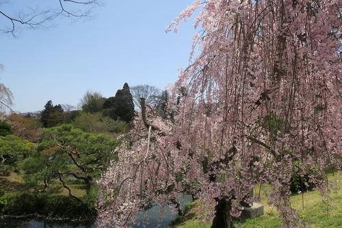 桜三昧_f0138096_22394440.jpg