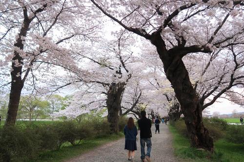 桜三昧_f0138096_22402078.jpg