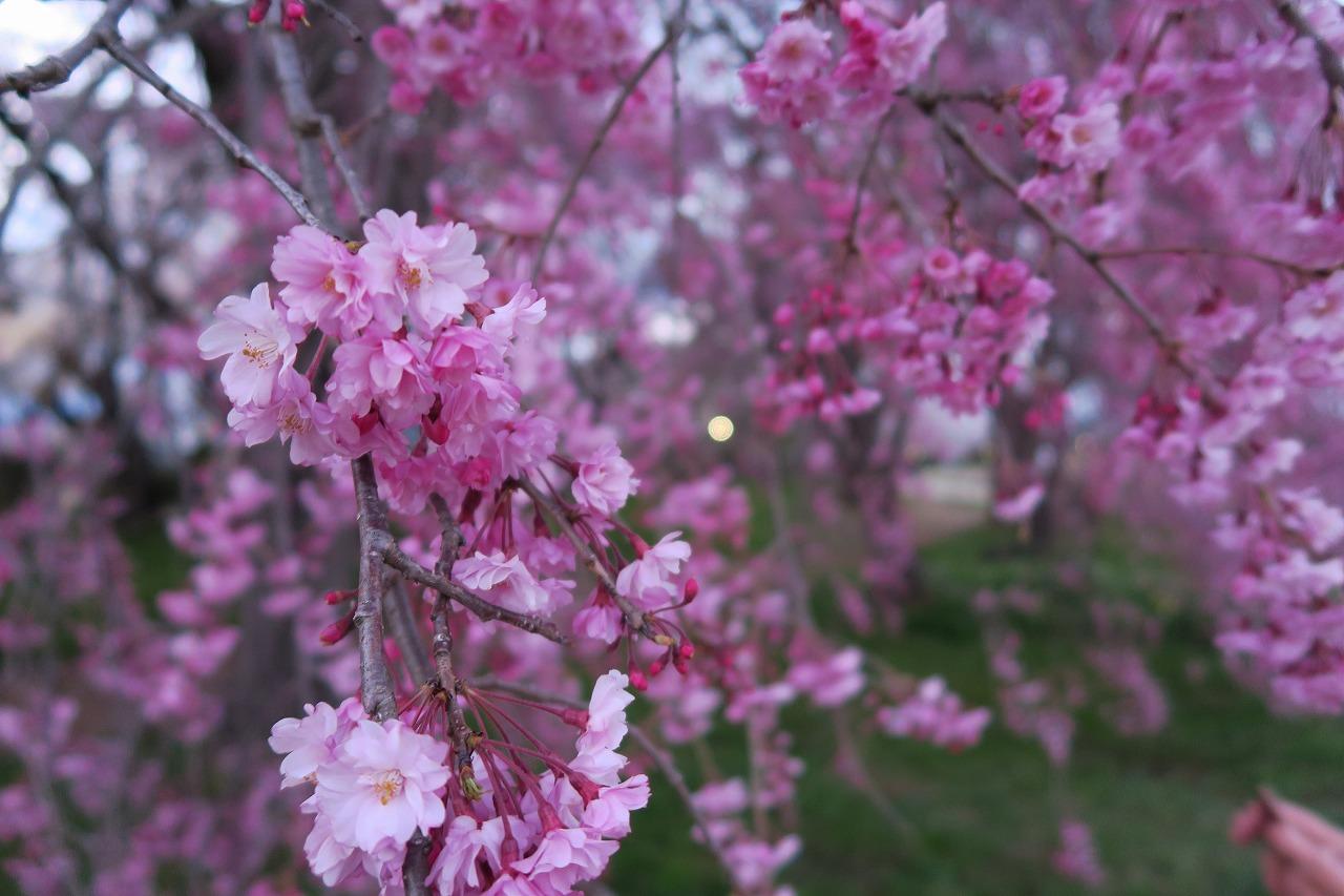 桜三昧_f0138096_22413066.jpg