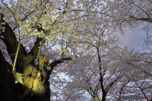 桜三昧_f0138096_224132.jpg