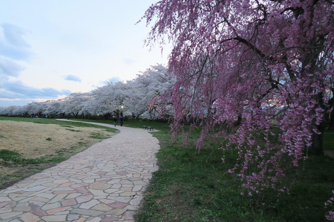 桜三昧_f0138096_22414265.jpg