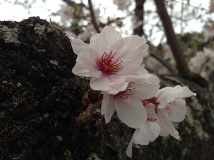 桜の記憶_f0226714_5283632.jpg