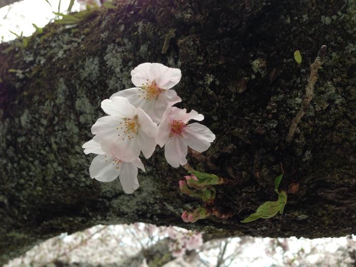 桜の記憶_f0226714_5315956.jpg
