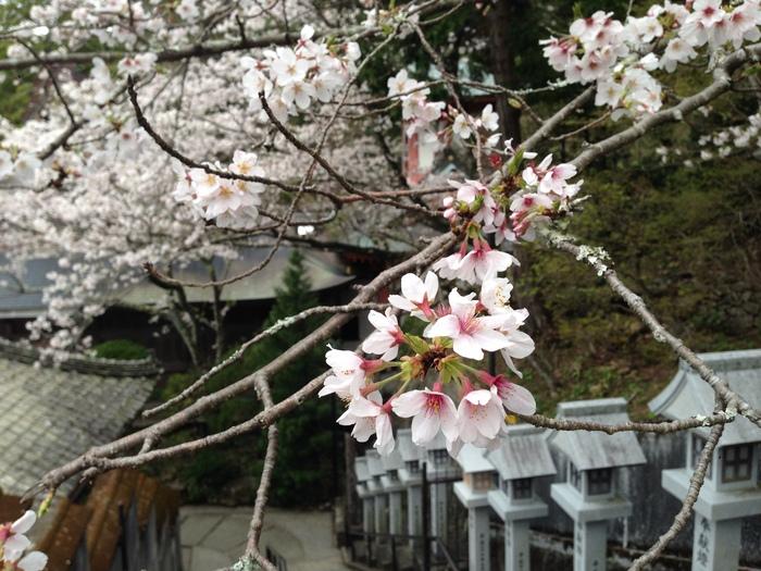 桜の記憶_f0226714_5362281.jpg