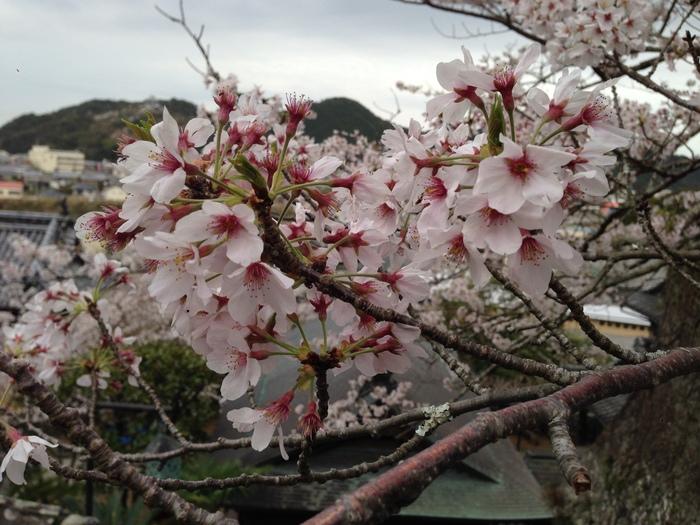 桜の記憶_f0226714_5372823.jpg