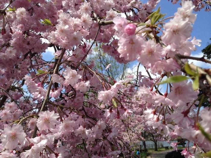 桜の記憶_f0226714_5442562.jpg