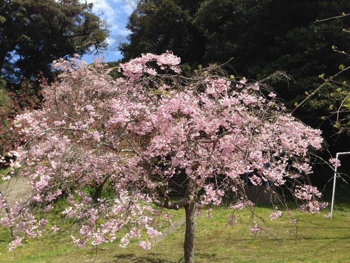桜の記憶_f0226714_546764.jpg