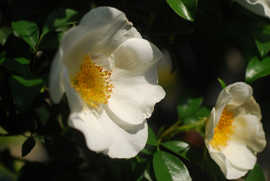 白い蔓ばら(ナニワイバラ)_c0187781_21375273.jpg