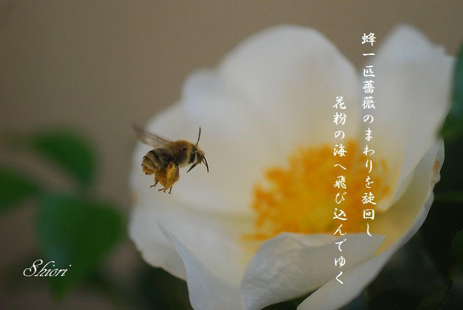 白い蔓ばら(ナニワイバラ)_c0187781_21401200.jpg