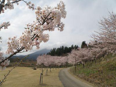 こんな桜もあるんです_a0096989_1073049.jpg