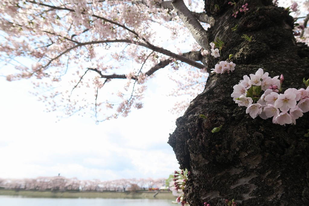 桜三昧Ⅱ_f0138096_22424172.jpg