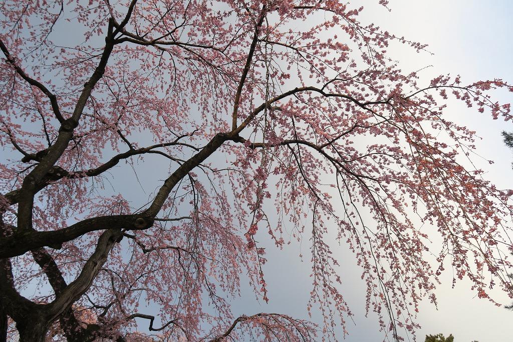 桜三昧Ⅱ_f0138096_22441077.jpg