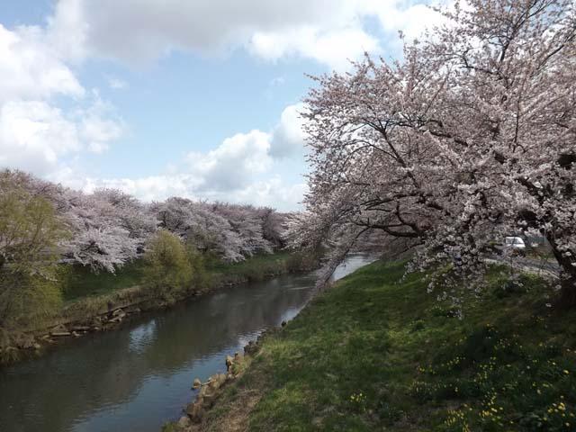 秋田市楢山太平川沿いの桜_f0019498_13494840.jpg