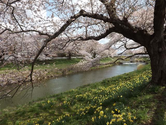 秋田市楢山太平川沿いの桜_f0019498_13503528.jpg